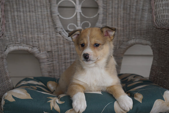 Mini Australian Shepherd Mix For Sale Holmesville, OH Female- Lacey
