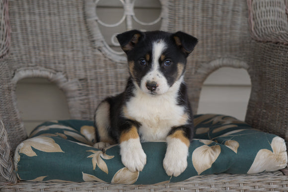 Miniature Australian Shepherd Mix For Sale Holmesville, OH Female- Ava