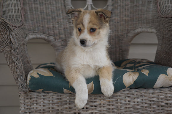 Pomsky Mix For Sale Holmesville, OH Male- Hunter
