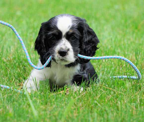 AKC Registered Cocker Spaniel For Sale Wooster, OH Female- Cupcake