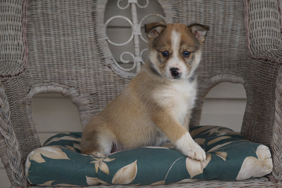 Miniature Australian Shepherd Mix For Sale Holmesville, OH Female- Jasmine