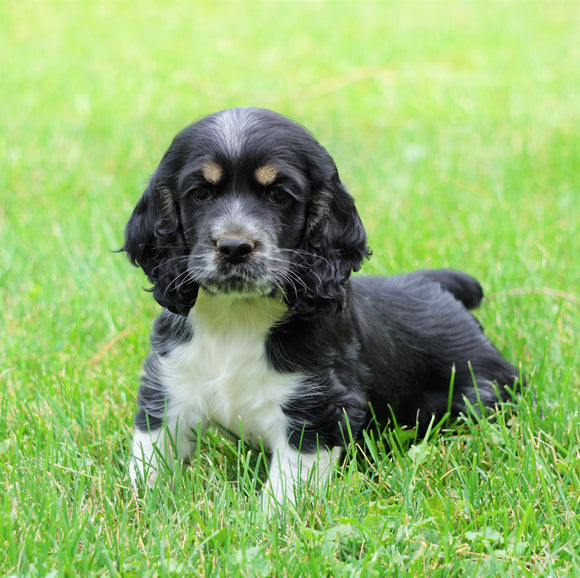 AKC Registered Cocker Spaniel For Sale Wooster, OH Male- Oreo