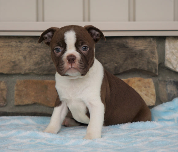 AKC Registered Boston Terrier For Sale Millersburg, OH Female- Sabrina