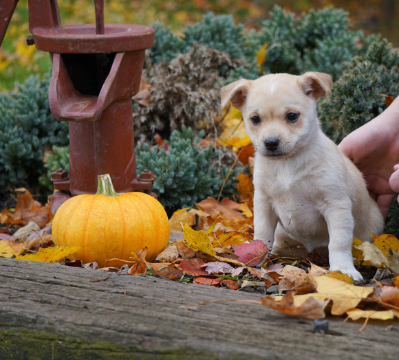Jack Russel Mix For Sale Fredericksburg, OH Male- Russel