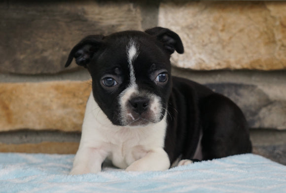 AKC Registered Boston Terrier For Sale Millersburg, OH Male- Mack