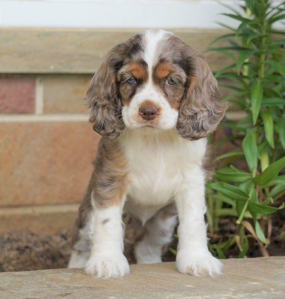AKC Registered Cocker Spaniel For Sale Wooster, OH Female- Peanut