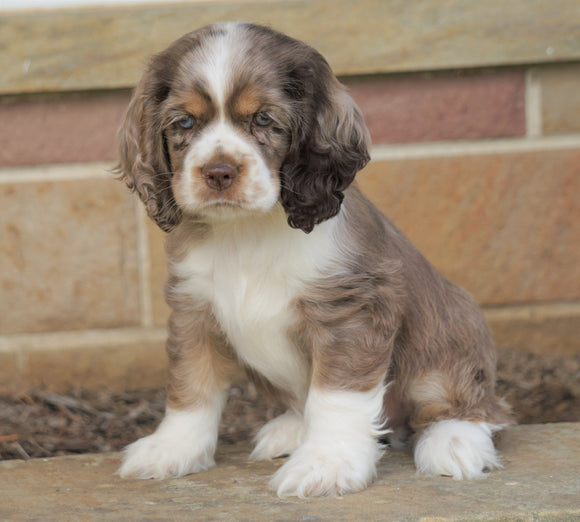 AKC Registered Cocker Spaniel For Sale Wooster, OH Male- Coco