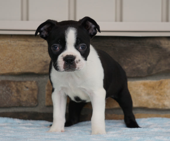 AKC Registered Boston Terrier For Sale Millersburg, OH Female- Katy