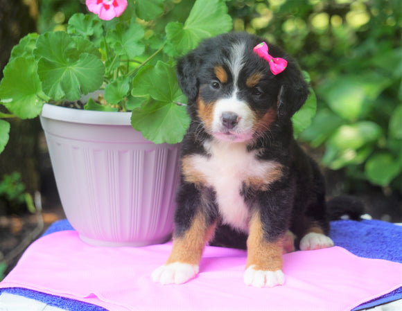 AKC Registered Bernese Mountain Dog For Sale Loudonville, OH Female- Tina