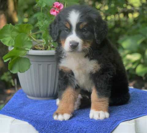 AKC Registered Bernese Mountain Dog For Sale Loudonville, OH Male- Buster