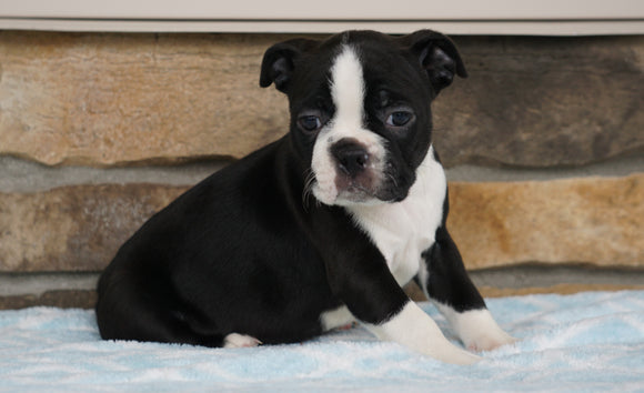 AKC Registered Boston Terrier For Sale Millersburg, OH Female- Bella