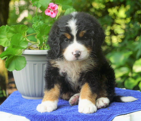 AKC Registered Bernese Mountain Dog For Sale Loudonville, OH Male- Buddy