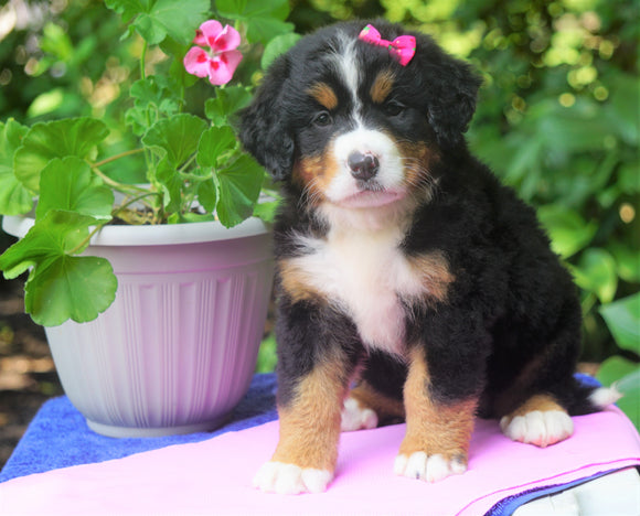 AKC Registered Bernese Mountain Dog For Sale Loudonville, OH Female- Gracie
