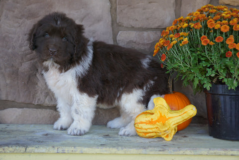 AKC Registered Newfoundland For Sale Dalton, OH Female- Scarlet