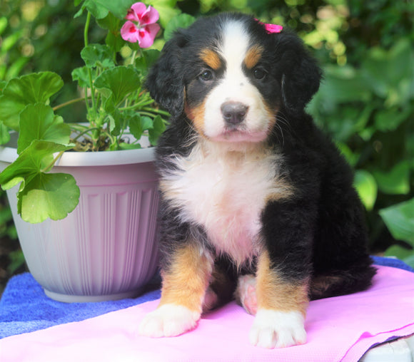 AKC Registered Bernese Mountain Dog For Sale Loudonville, OH Female- Abby