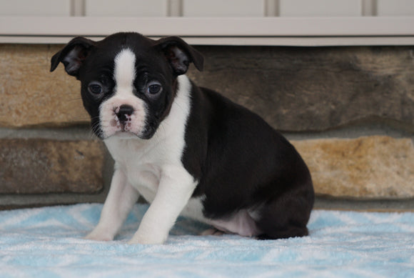 AKC Registered Boston Terrier For Sale Millersburg, OH Female- Frances