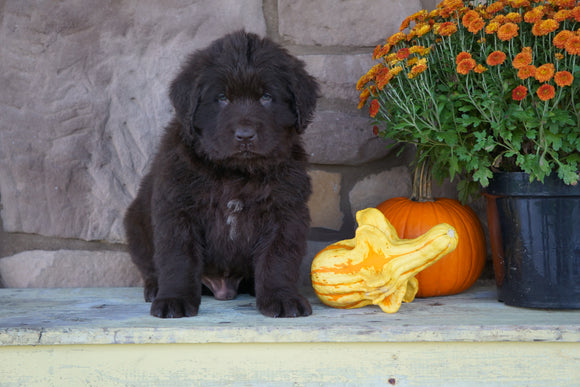 AKC Registered Newfoundland For Sale Dalton, OH Male- Boomer