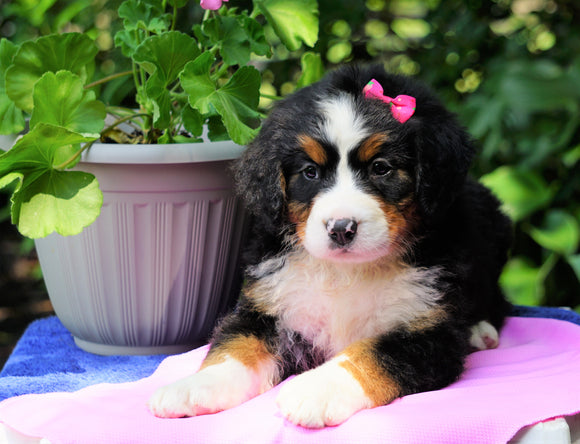 AKC Registered Bernese Mountain Dog For Sale Loudonville, OH Female- Sophie