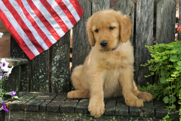 AKC Registered Golden Retriever For Sale Apple Creek, OH Female- Sunny