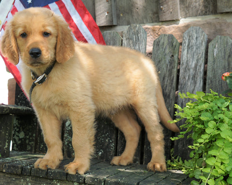 AKC Registered Golden Retriever For Sale Apple Creek, OH Male- Max