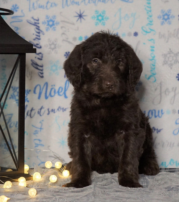 F1 Standard Labradoodle For Sale Millersburg, OH Female- Cloudy