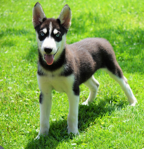 AKC Registered Siberian Husky For Sale Millersburg, OH Female- Dora