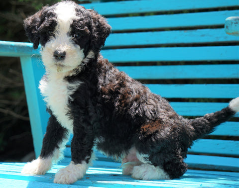Mini Bernedoodle For Sale Sugarcreek, OH Male- Oreo