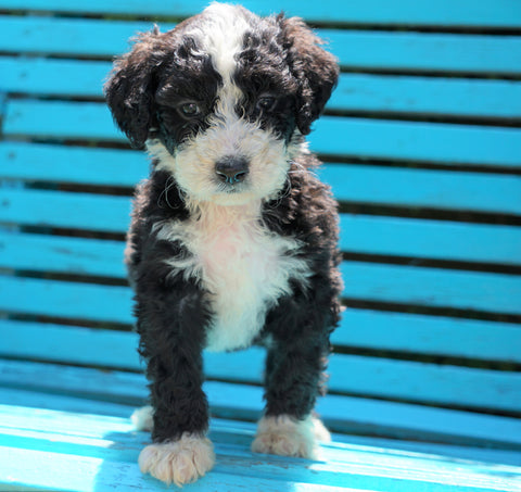Mini Bernedoodle For Sale Sugarcreek, OH Female- Cookie