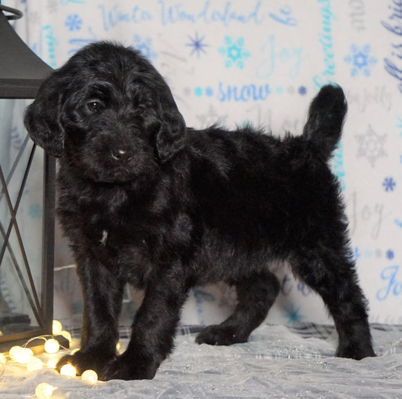 F1 Standard Labradoodle For Sale Millersburg, OH Female- Rainy
