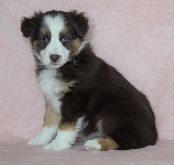 Australian Shepherd For Sale Baltic, OH Female- Callie