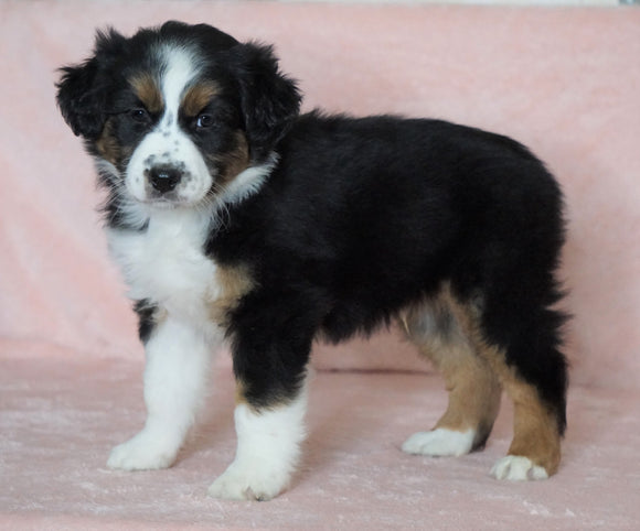 Australian Shepherd For Sale Baltic, OH Male- Chase