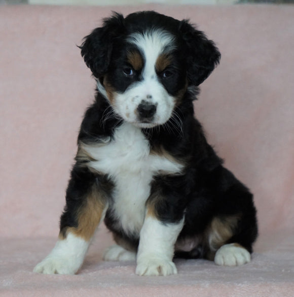 Australian Shepherd For Sale Baltic, OH Female- Bella
