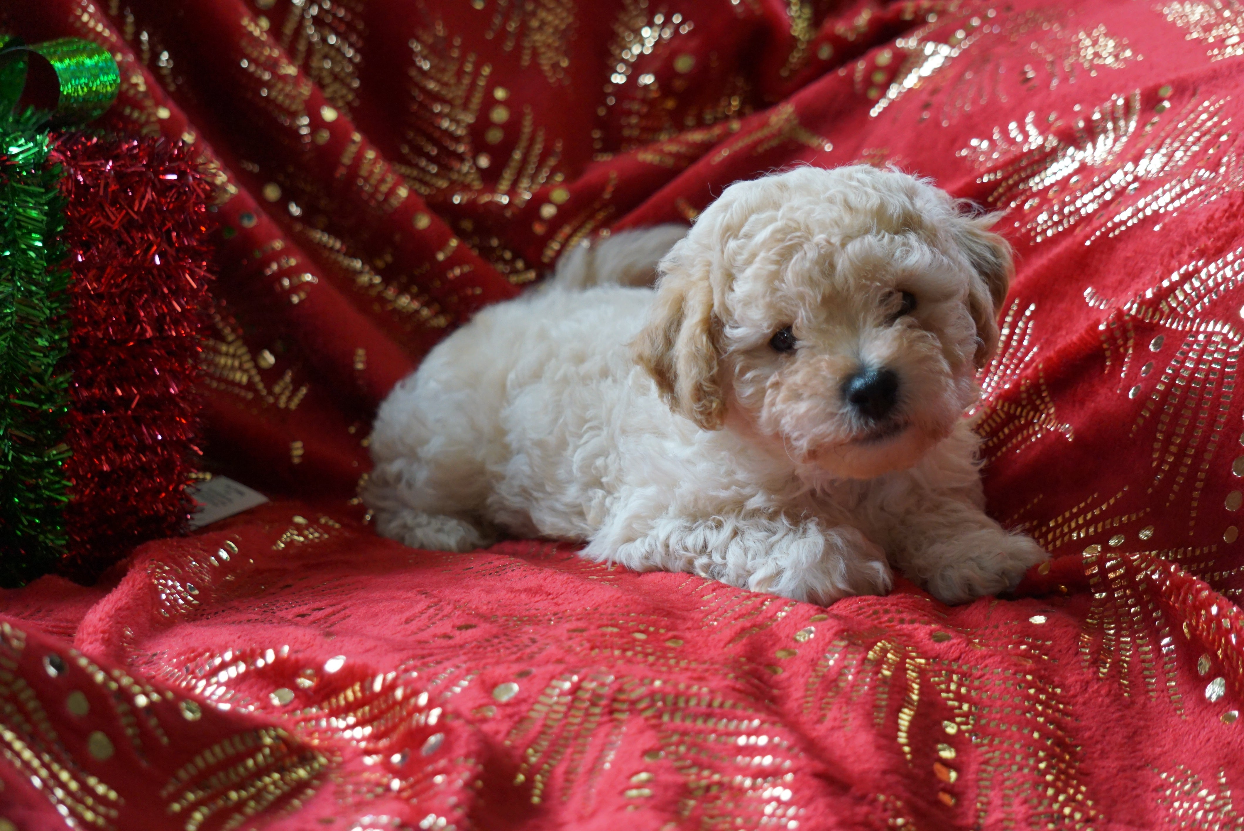 Bichpoo Puppy For Sale Wooster, OH Male- Scampy – AC Puppies LLC