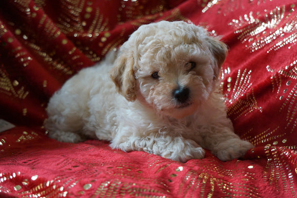 Bichpoo Puppy For Sale Wooster, OH Male- Scampy