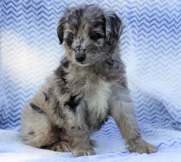 Mini Aussiedoodle For Sale Holmesville, OH Female-  Maggie