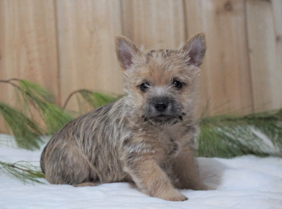 AKC Registered Cairn Terrier For Sale Millersburg, OH Male- Otter