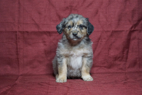 Australian Retriever For Sale Fredericksburg, OH Male- Sparky