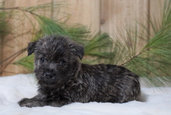 AKC Registered Cairn Terrier For Sale Millersburg, OH Female- Jewel