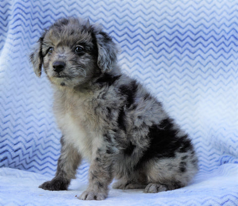 Mini Aussiedoodle For Sale Holmesville, OH Male- Stanley