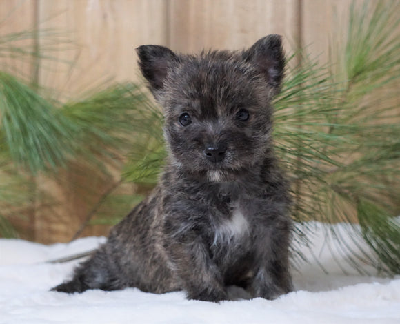 AKC Registered Cairn Terrier For Sale Millersburg, OH Female- Roxanne