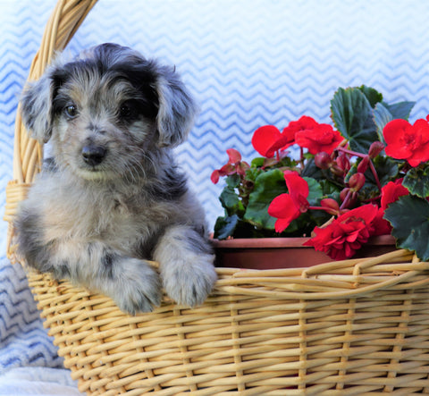 Mini Aussiedoodle For Sale Holmesville, OH Female- Pepper
