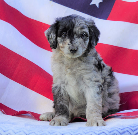 Mini Aussiedoodle For Sale Holmesville, OH Male- Tucker