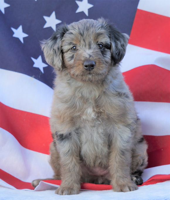 Mini Aussiedoodle For Sale Holmesville, OH Female- Kali