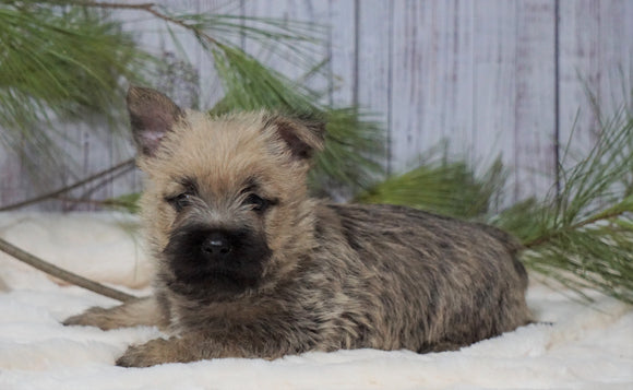 AKC Registered Cairn Terrier For Sale Millersburg, OH Male- Toby