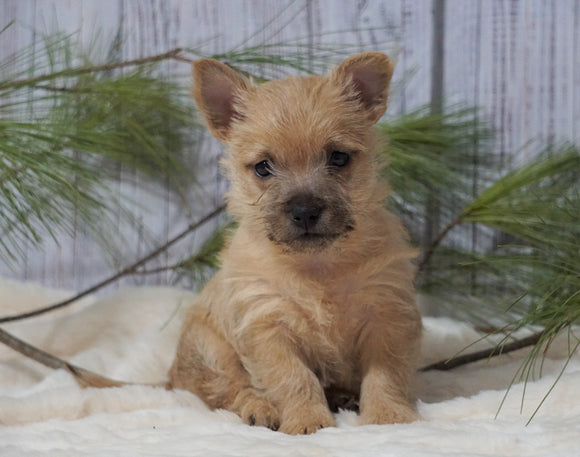 AKC Registered Cairn Terrier For Sale Millersburg, OH Male- Odie