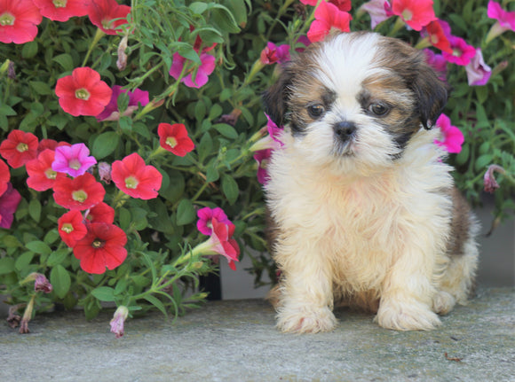 Shih Tzu Puppy For Sale Warsaw, OH Male- Odie