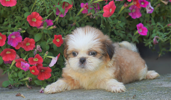 Shih Tzu Puppy For Sale Warsaw, OH Female- Violet