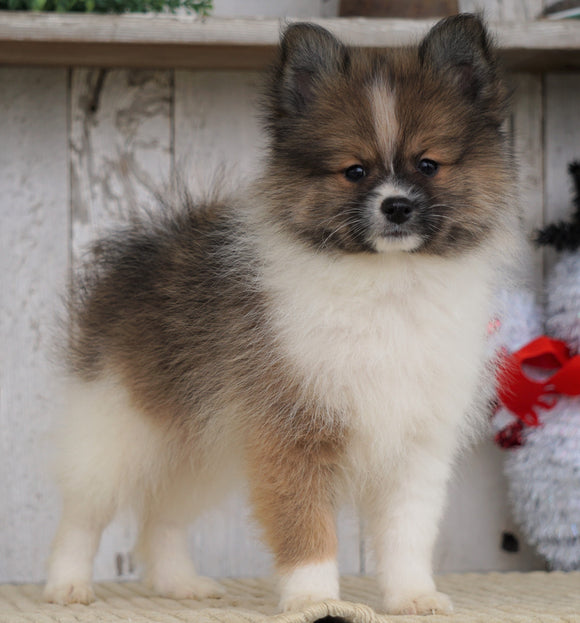 ACA Registered Pomeranian For Sale Millersburg, OH Male- Titus