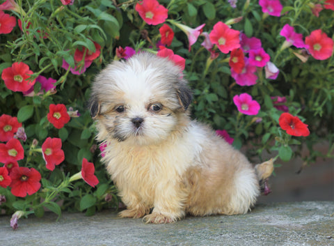 Shih Tzu Puppy For Sale Warsaw, OH Female- Izzy
