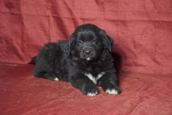 Australian Retriever For Sale Fredericksburg, OH Male- Tyson